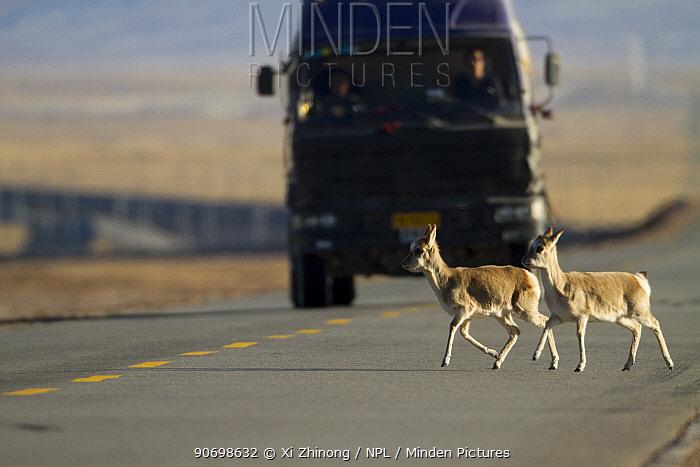 Tibetan antelope (Pantholops hodgsonii) crossing road infront of a truck, Kekexili, Qinghai, China, January