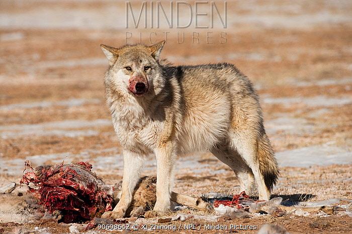 Grey wolf (Canis lupus) at a Tibetan antelope (Pantholops hodgsoni) carcass, Qinghai, China, December