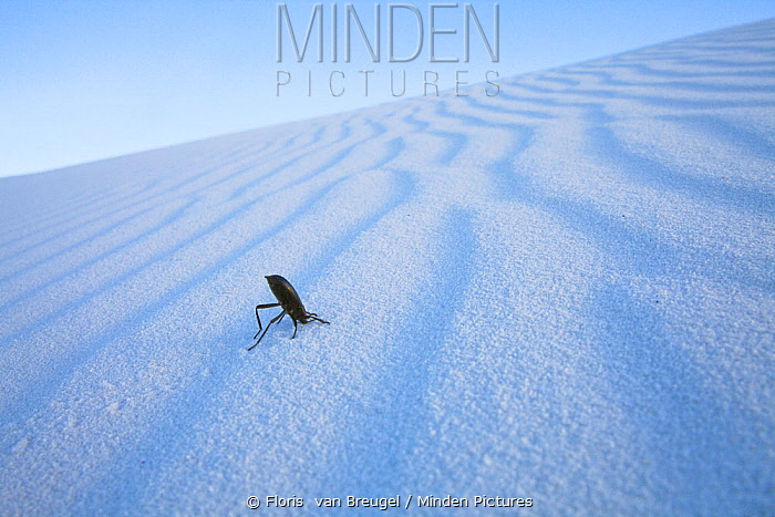 Darkling Beetle (Tenebrionidae) on sand in White Sands National Monument, New Mexico, USA, April.