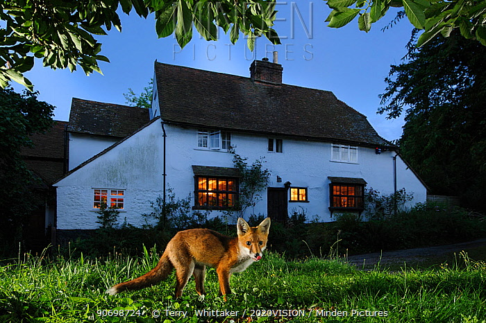 Red fox (Vulpes vulpes) eating pet food left out for it in suburban garden at twilight, Kent, UK, August, taken with camera trap. Did you know? Foxes first colonised British cities in the 1930-40s.