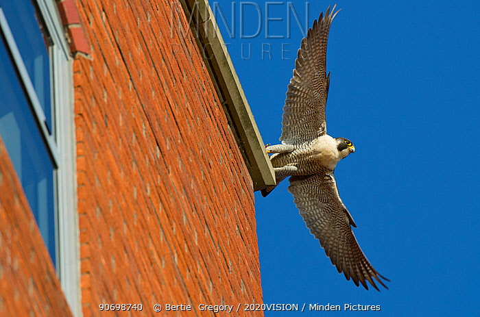 Adult female Peregrine falcon (Falco peregrinus) taking flight from the roof an office block, Bristol, England, UK, May. Did you know? Peregrine falcons have specially adapted nostrils to prevent the high airflow when diving from damaging their lungs.
