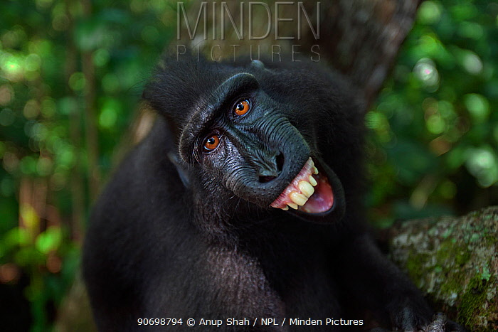 Celebes / Black crested macaque (Macaca nigra)  sub-adult male making threat gesture at reflection in camera lens, Tangkoko National Park, Sulawesi, Indonesia.