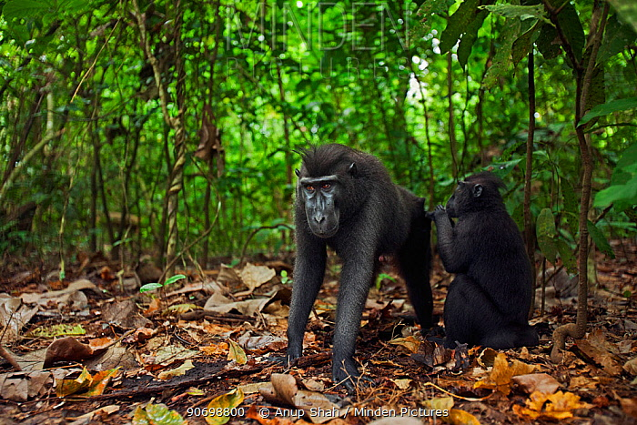 Celebes / Black crested macaque (Macaca nigra)  juvenile grooming a sub-adult male, Tangkoko National Park, Sulawesi, Indonesia.