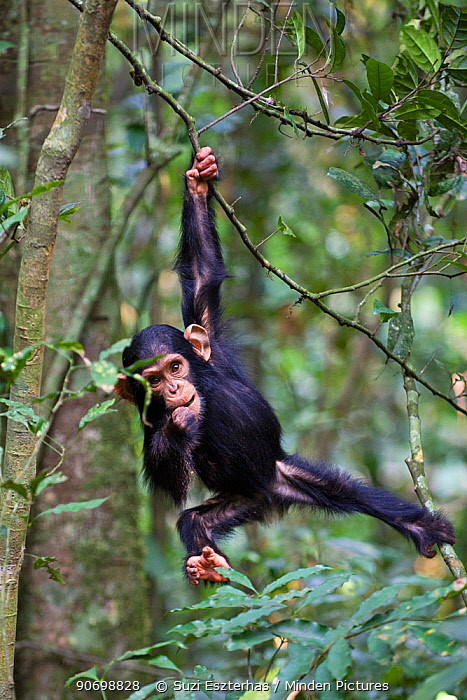 Chimpanzee (Pan troglodytes) infant, aged one and a half playing in tree, in tropical forest, Western Uganda