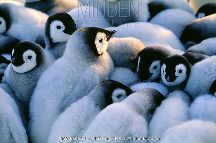 Emperor Penguins, (Aptenodytes forsteri), chicks huddled together in a creche to keep warm, Weddell Sea, Antarctica