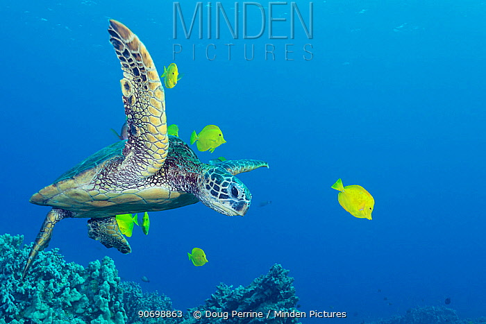 Green sea turtle (Chelonia mydas) being cleaned by yellow tangs (Zebrasoma flavescens) at a cleaning station where the turtles are groomed by the fish in a mutualistic, symbiotic relationship, Puako, Kona, Hawaii, USA, November