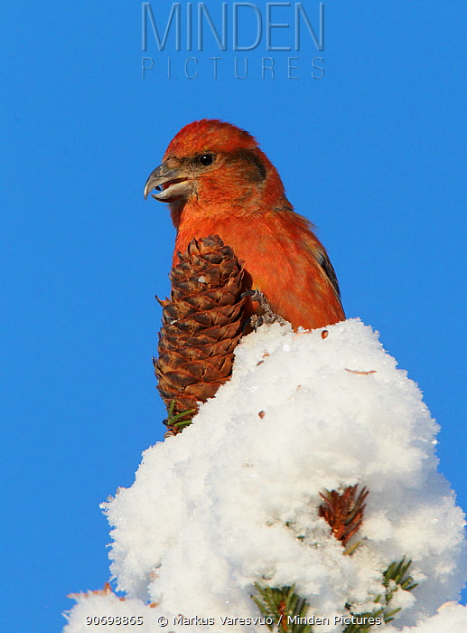 Common Crossbill (Loxia curvirostra) with cone on top of snow covered tree, Kuusamo, Finland, February