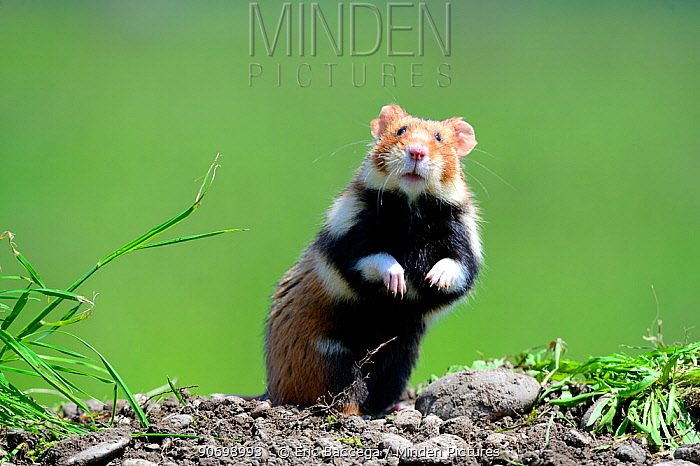 Common hamster standing (Cricetus cricetus) Alsace, France, captive