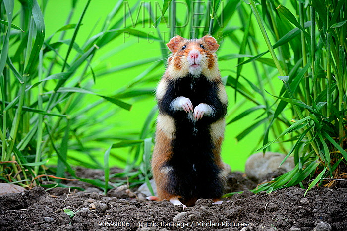 Common hamster (Cricetus cricetus) standing, Alsace, France, captive