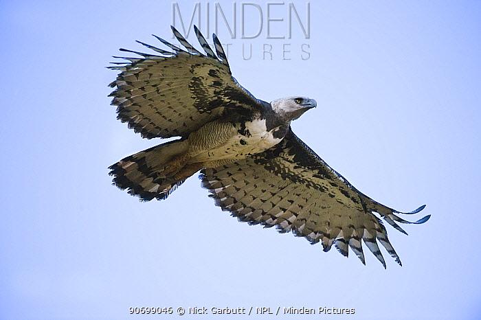 Female Harpy Eagle (Harpia harpyja) in flight. Returning to its nest. Pousada Currupira d'Araras, south west Brazil.