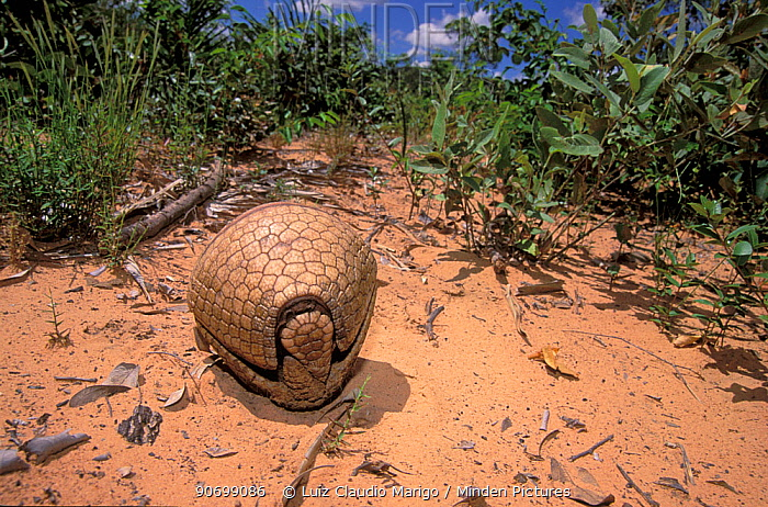 Three-banded Armadillo (Tolypeutes tricinctus) curled in to a defensive ball, cerrado of Piaui State, Northeastern Brazil.