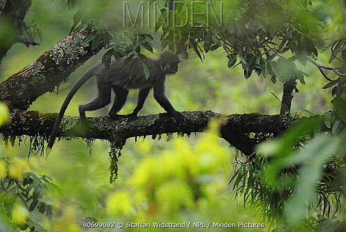 Phayer's Leaf monkey (Trachypithecus phayrei) Gaoligongshan NP, Yunnan province, China