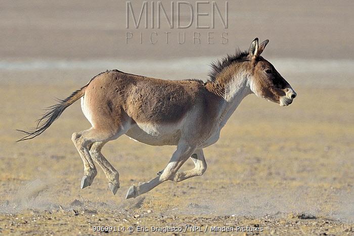 Tibetan Wild Ass / Kiang, (Equus kiang) running, ChangThang, Tso Kar lake, at altitude of 4600m, Ladakh, India