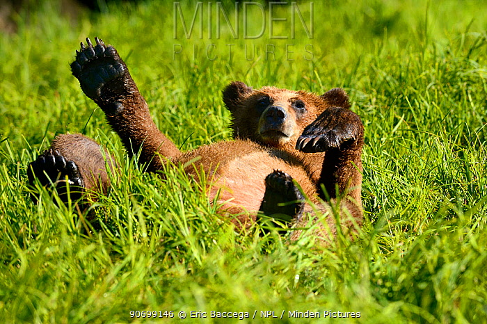 Grizzly bear cub (Ursus arctos horribilis) resting in the sedges, Khutzeymateen Grizzly Bear Sanctuary, British Columbia, Canada, June.