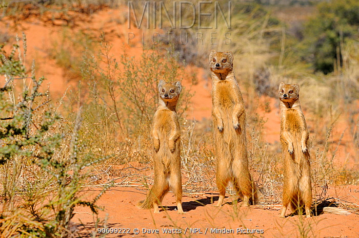 Yellow Mongooses (Cynictis penicillata) standing alert, Kgalagadi National Park, South Africa