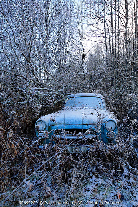 Old abandoned car in 'car graveyard' surrounded by trees in winter, Bastnas, Sweden, December