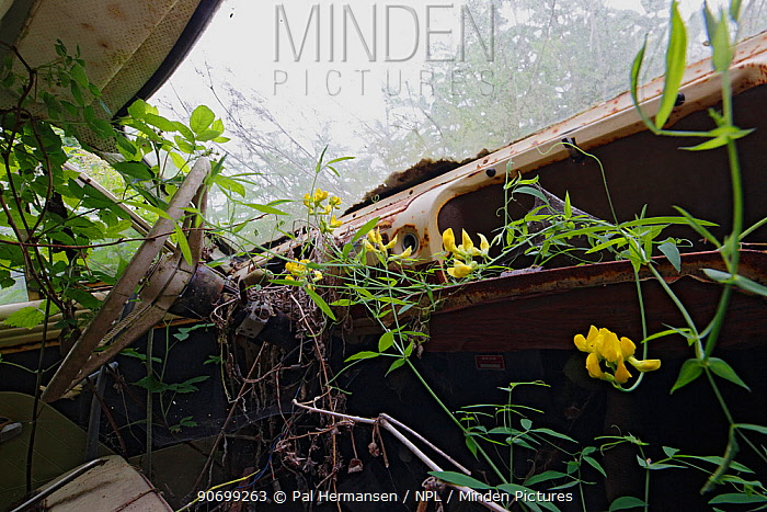 Meadow vetchling (Lathyrus pratensis) and brambles (Rubus) growing on the dashboard of the abandoned car in 'car graveyard' Bastnas, Sweden, July