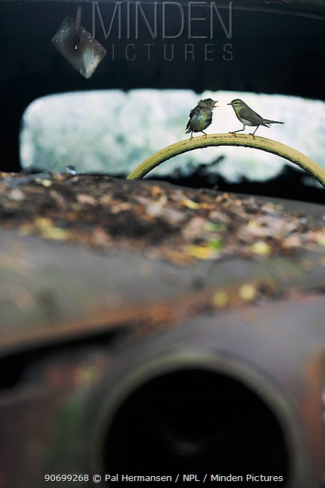 Willow warbler (Phylloscopus trochilus) feeding young on steering wheel of abandoned car in 'car graveyard' Varmland, Sweden, June