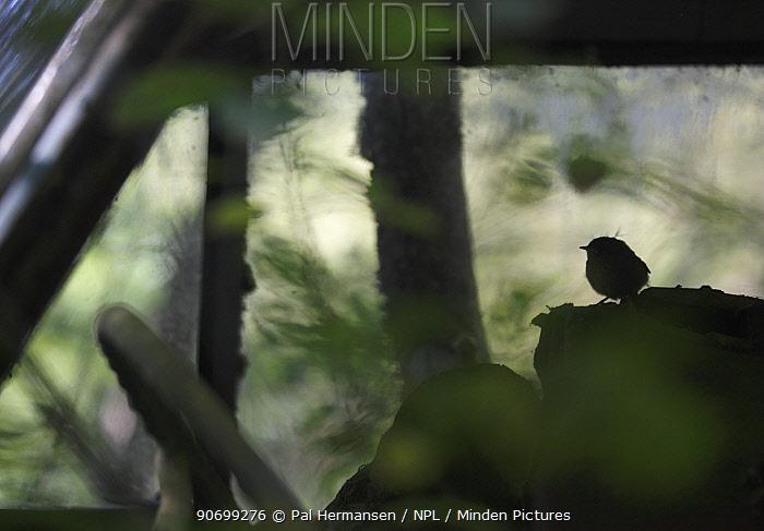 Young wren (Troglodytes troglodytes) in an old abandoned car in a 'car graveyard' Bastnas, Sweden