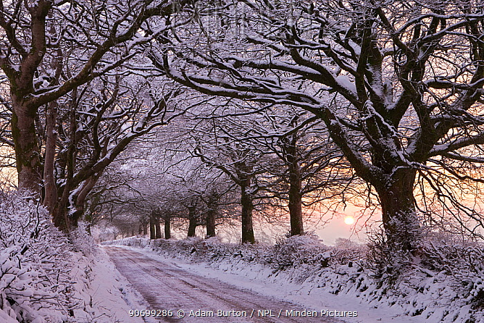 Tree lined country lane laden with snow, Exmoor National Park, Somerset, England. January 2012.