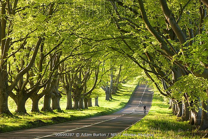 Cyclist riding along a beautiful beech lined country lane, Wimborne, Dorset, England. May 2012.
