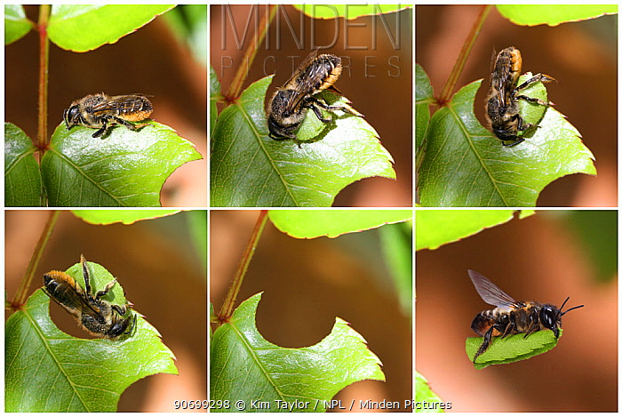 Leaf-cutting Bee (Megachile species) sequence showing cutting leaf section from rose. Read from top left. Surrey, England. Digital composite.