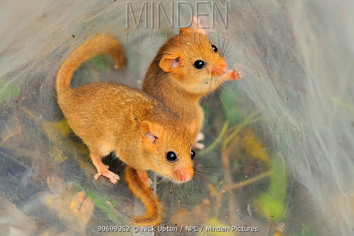 Two young Common / Hazel dormice (Muscardinus avellanarius), captured during a survey in coppiced woodland near Bristol, being held temporarily in a plastic sack, Somerset, UK, October. Non-ex. Winner of the Documentary Series category of BWPA competition 2014.