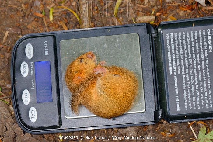 Torpid Common / Hazel dormouse (Muscardinus avellanarius) sleeping while being weighed during a survey by Backwell Enviroment Trust in coppiced woodland near Bristol, Somerset, UK, June. Winner of the Documentary Series category of BWPA competition 2014.