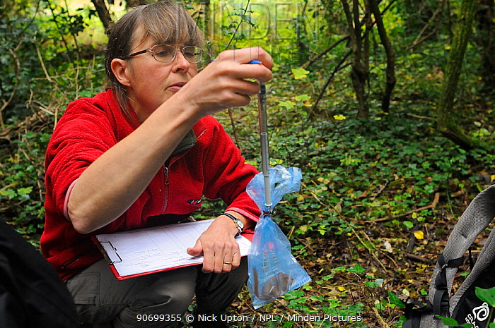 Mammalogist Gill Brown of Backwell Enviroment Trust using a spring balance to weigh a Common / Hazel dormouse (Muscardinus avellanarius) held in a plastic bag during a survey in coppiced woodland near Bristol, Somerset, UK, October. Model released. Winner of the Documentary Series category of BWPA competition 2014.