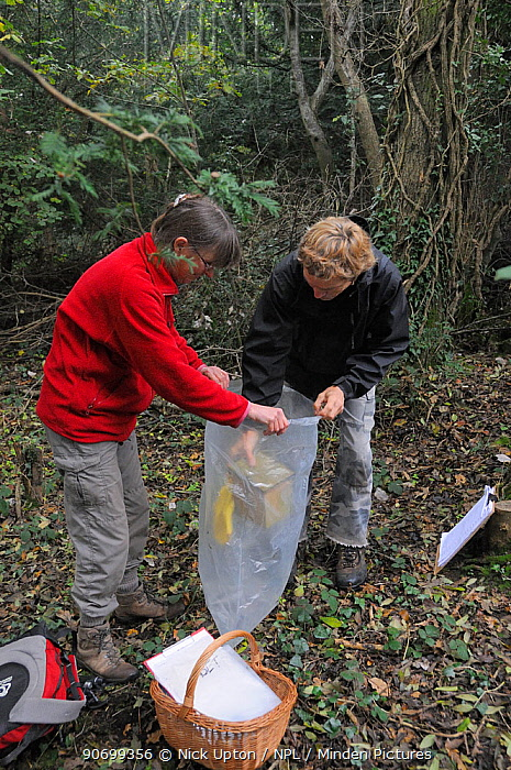 Ian Chambers of Backwell Enviroment Trust lowering a nestbox containing a Common / Hazel dormouse (Muscardinus avellanarius) into a plastic sack held by Gill Brown, before taking measurements, in coppiced woodland near Bristol, Somerset, UK, October. Model released. Winner of the Documentary Series category of BWPA competition 2014.
