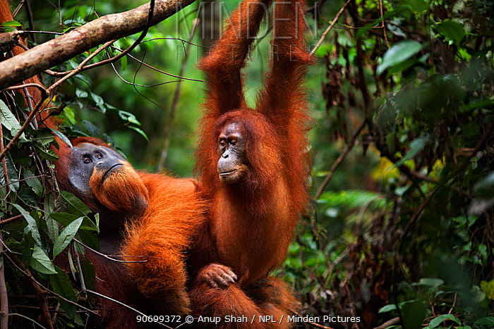 Sumatran orangutan (Pongo abelii) mature male 'Halik' aged 26 years mating with female 'Juni' aged 12 years. Gunung Leuser National Park, Sumatra, Indonesia. Rehabilitated and released (or descended from those which were released) between 1973 and 1995.