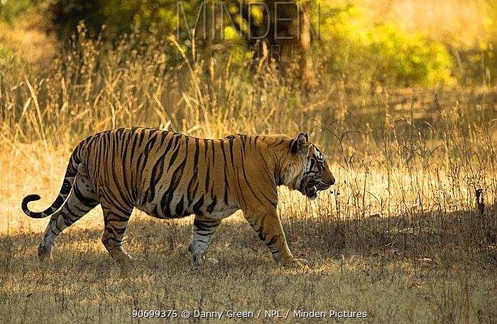 Tiger (Panthera tigris tigris), male portrait, Bandhavgarh, India, February 2013