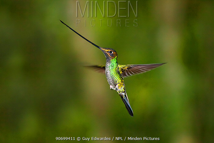 Sword-billed Hummingbird (Ensifera ensifera) Guango Lodge, Ecuador