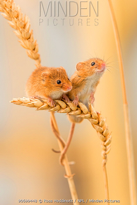 Harvest mice (Micromys minutus) on wheat stems, Devon, UK, July. Captive. Not available for Greetings card and Notelets in the UK until 24/08/16.
