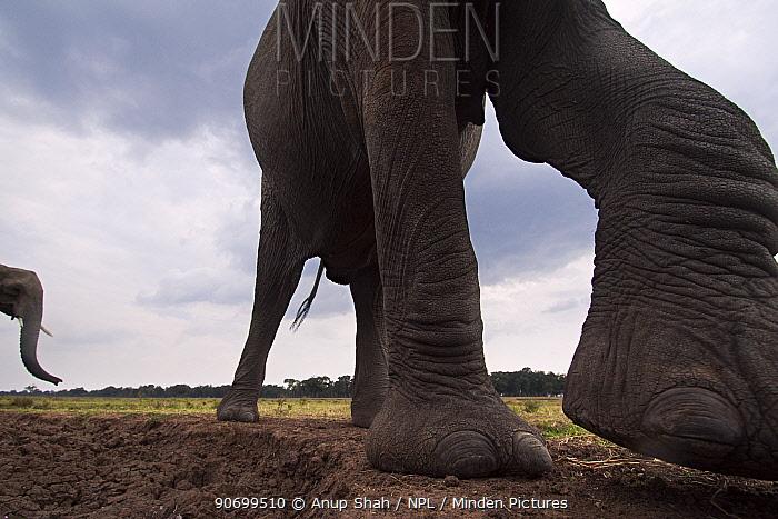 African elephant (Loxodonta africana) close-up. Masai Mara National Reserve, Kenya. Taken with remote wide angle camera.