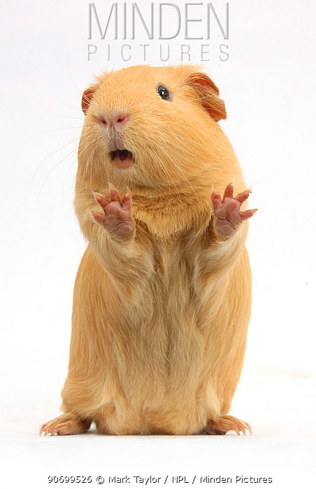Yellow Guinea pig standing up and squeaking, against white background