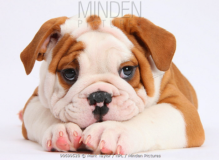 Bulldog puppy with chin on paws, against white background