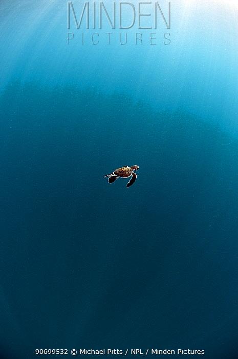 Green Turtle (Chelonia mydas) hatchling swimming out to deep water from Karan Island, Saudi Arabia, Arabian Gulf.