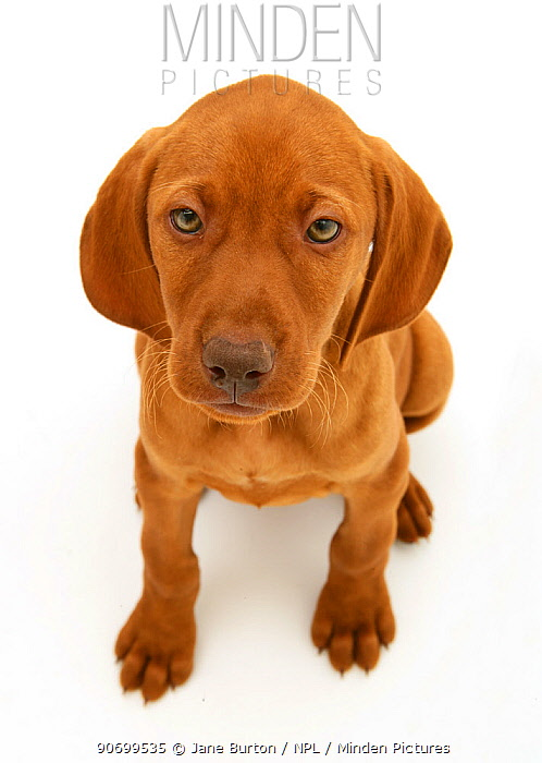 Hungarian Vizsla pup sitting looking up, against white background