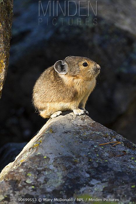 Pika (Ochotona princeps) in scree rock pile, Sheepeaters Cliff, Yellowstone National Park, Wyoming, USA, September.