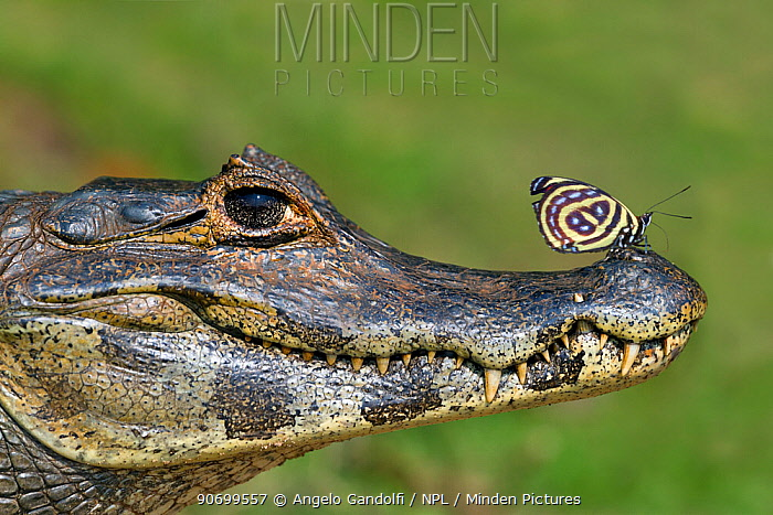 Yacare Caiman (Caiman yacare) with butterfly (Paulogramma pyracmon) resting on its snout, Pantanal, Brazil.