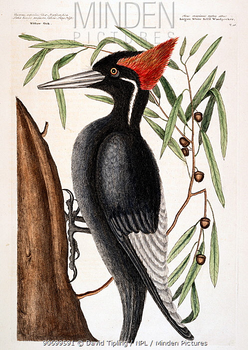 Hand coloured etching plate (Plate 16) of Ivory-billed woodpecker (Campephilus principalis)  The Natural History of Carolina, Florida and the Bahama islands (1731-43) Vol. 1 by Mark Catesby. Critically endangered species most likely extinct species.