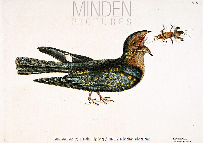 Hand coloured etching plate of Nightjar / Goat sucker (Caprimulgus) feeding on Mole Cricket (Gryllotalpidae) from The Natural History of Carolina, Florida and the Bahama islands (1731-43) Vol. 1 by Mark Catesby.