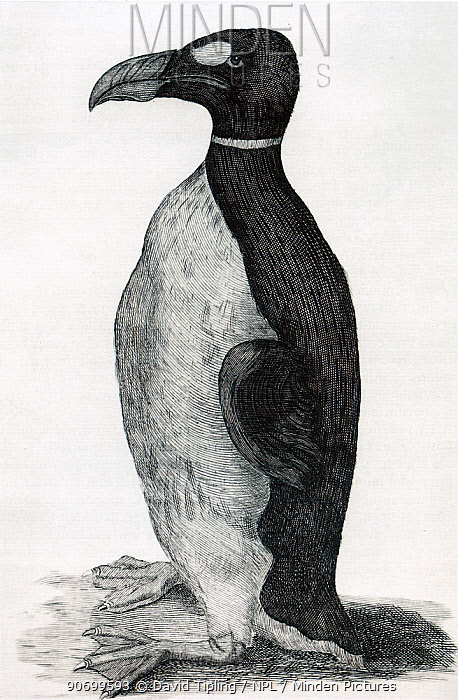 Illustration of Great Auk (Pinguinus impennis) by Ole Worm of his pet from the Faroe Islands. The only known illustration of a Great Auk drawn from life. From Ole Worms book Museum Wormianum, 1655.