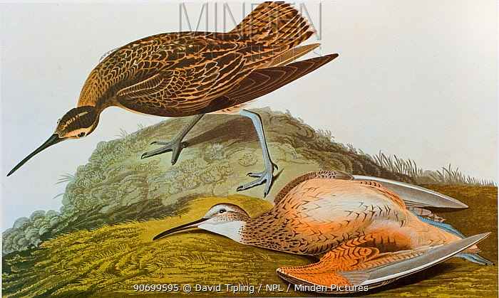 Eskimo Curlew (Numenius borealis) drawing by James Audubon for Birds of America. Critically endangered species.