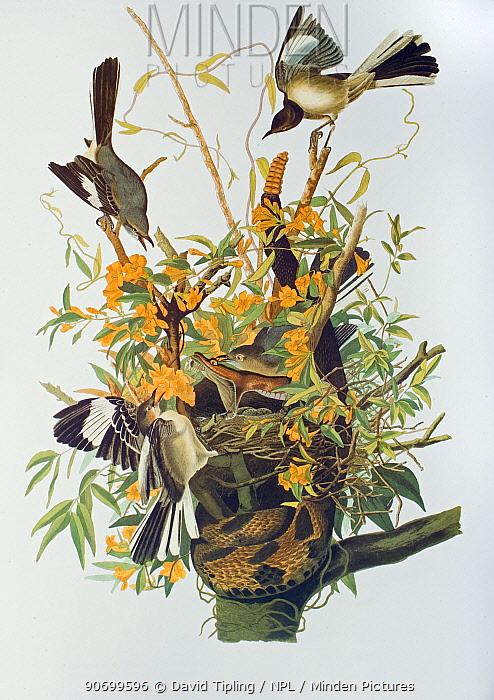Northern Mockingbird (Mimus polyglottos) at nest with Rattlesnake, plate from James Audubon's Birds of America.