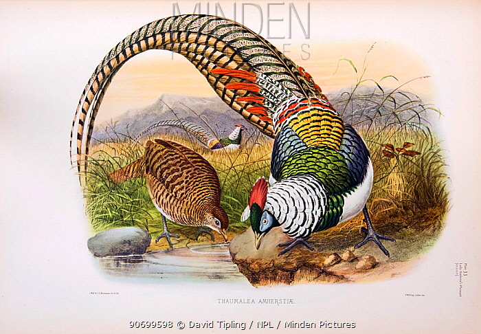 Lady Amherst's Pheasant (Chrysolophus amherstiae) illustration by Joseph Wolf from The Phasinaidae by D.G Elliott published 1870-72.