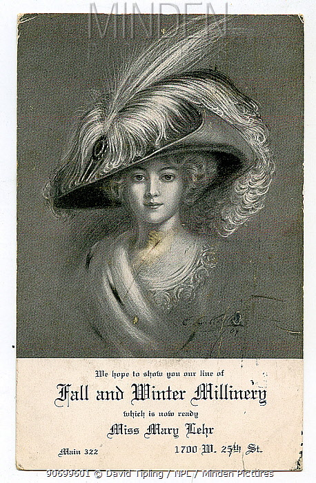 Promotional card promoting Mary Lehr Millinery in the US from 1900-1910s. Illustration depicts Egret plumes in hat.