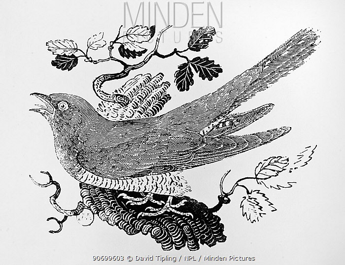 Common Cuckoo (Cuculus canorus) wood engraving by Thomas Bewick published in  History of Land Birds Vol 1, 1797.