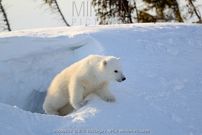 Polar bear cub 3 months (Ursus maritimus) playing in the front of the day den in March. Wapusk National Park. Churchill, Manitoba, Canada